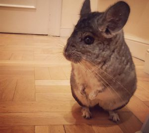 Cheeky Chinchilla