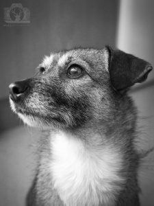 Black and white photo of a small dog - a jack russell cross